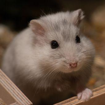 Ilustrasi hamster.