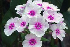 8 Bunga Cantik yang Cepat Mekar, Cocok di Halaman Rumah
