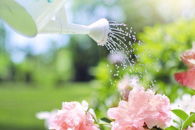 Ilustrasi menyiram tanaman.