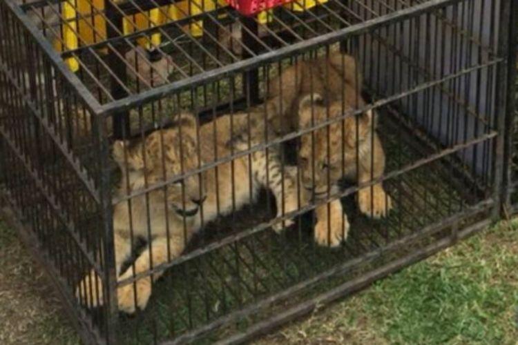 Anak singa afrika yang diamankan dari pelaku penyelundupan dititipkan di kebun binatang Kasang Kulim di Kecamatan Siak Hulu, Kabupaten Kampar, Riau, Minggu (15/12/2019).