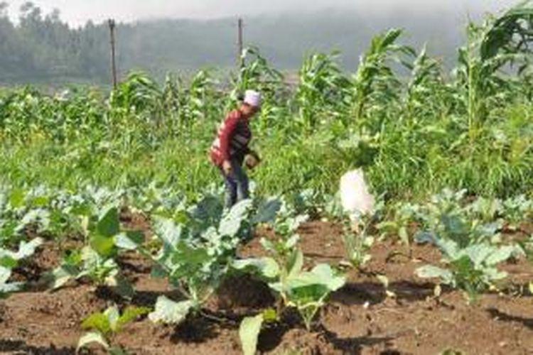 Para petani tembakau di kecamatan getasan, Kabupaten Semarang menerapkan pola tumpangsari guna   meminimalkan anjloknya harga tembakau dipasaran.