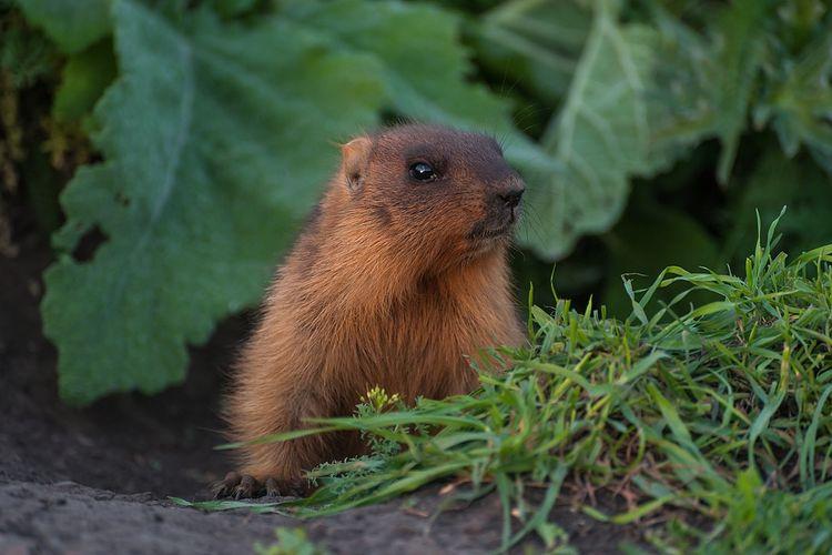 Ilustrasi marmot kecil
