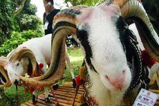 Alasan Mengapa Domba Garut Sangat Istimewa Menurut Peneliti