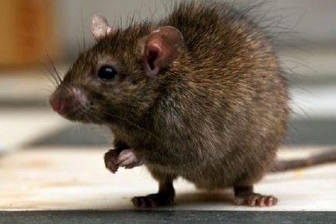 Puluhan Tikus Ditangkap di Kelapa Gading