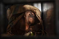 Diburu untuk Uang, Kini Belasan Orangutan dari Luar Negeri Itu Dipulangkan ke Tanah Air