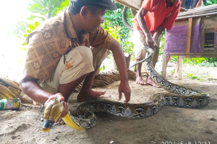 Warga Desa Tlogotirto, Kecamatan Gabus, Kabupaten Grobogan, Jawa Tengah menunjukkan ular piton sepanjang 4 meter yang ditangkapnya, Sabtu (8/5/2021).