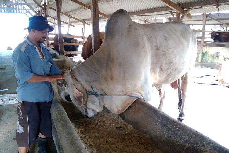 Salah seorang pekerja di peternakan milik Muhammad Sholeh, saat sedang memeriksa perkembangan sapi.