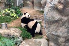 Di Tengah Lockdown Virus Corona, 2 Panda di Hong Kong Ini Kawin