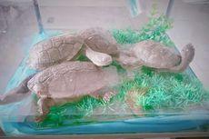 Ini Penyebab Kura-kura Leher Ular Rote Asal NTT Bisa Sampai ke Luar Negeri