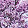 5 Cara Membuat Pohon Magnolia Semakin Mempercantik Taman