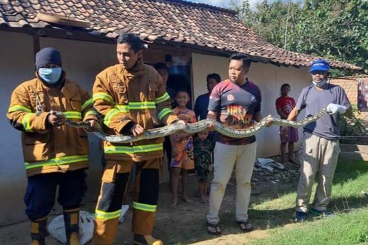 Petugas Satpol PP Blora, Jawa Tengah menunjukkan ular piton sepanjang lima meter yang berhasil di tangkap di wilayah Kabupaten Blora, Sabtu (4/7/2020).