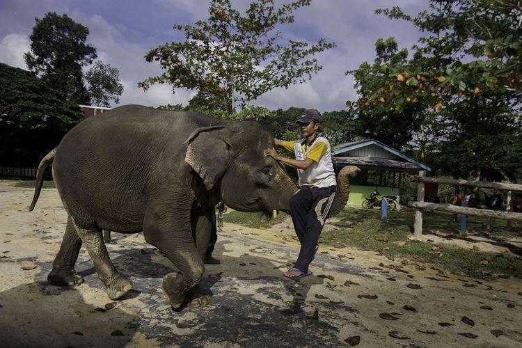 Seekor gajah Sumatera belajar atraksi mengangkat pawang dengan belalainya di Pusat Konservasi Gajah Riau, Minggu (11/3/2018). Ledakan populasi manusia dan kebijakan pemerintah yang mengatasnamakan pembangunan, membuat hutan sebagai habitat gajah Sumatera makin menciut lebih cepat dari yang diprediksi.