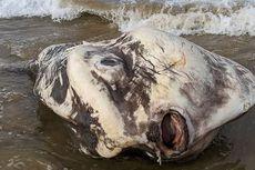 Heboh, Ikan Raksasa Berbentuk Aneh Terdampar di Pantai Australia