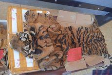 Penyelundupan Kulit Harimau Terungkap, Barang Bukti Masih Berbau Amis