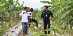 NTP dan NUTP Agustus 2021 Naik, Kementan: Bukti Kesejahteraan Petani Membaik