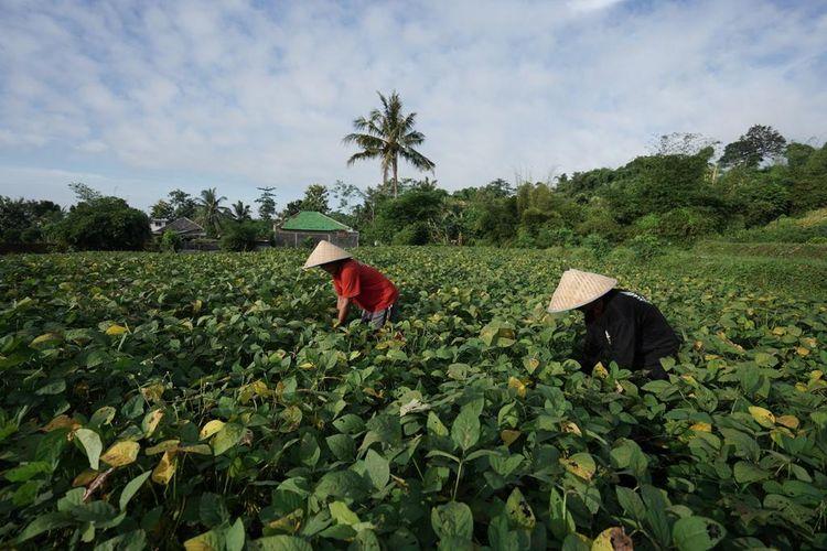 Ilustrasi pengembangan budidaya edamame kerja sama antara PT GMIT dengan petani di Jember.