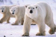 Racun Berbahaya Ditemukan di Otak Beruang Kutub