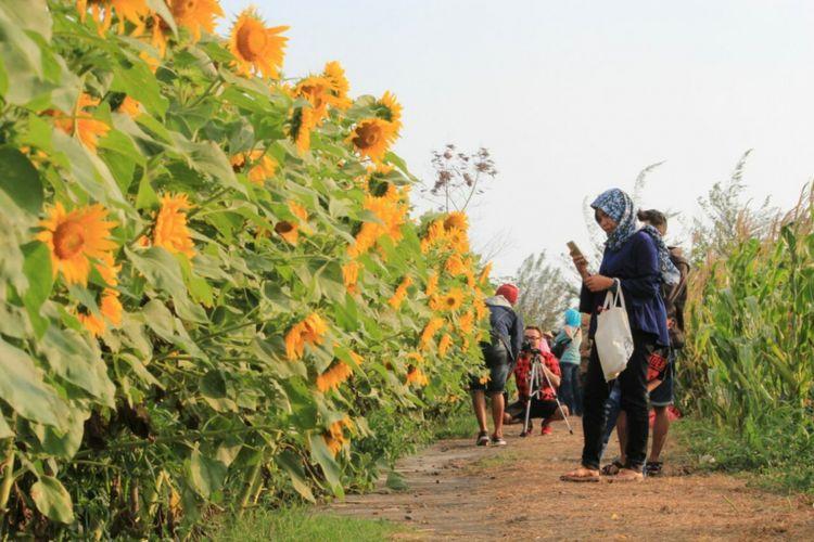Kebun bunga matahari di Bantul, Yogyakarta, setiap hari dikunjungi ratusan wisatawan.