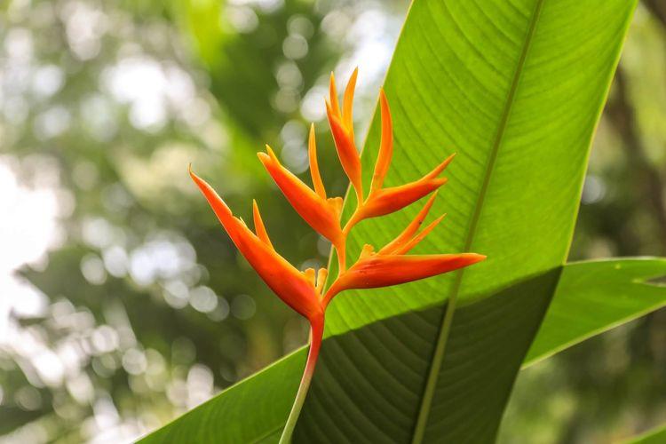 Tanaman bird of paradise.