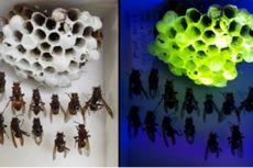 Peneliti Temukan Sarang Tawon Aneh, Bersinar Hijau di Bawah Cahaya UV