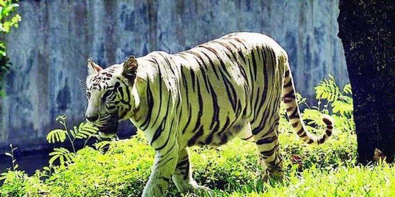 Teka Teki Harimau Putih Terpecahkan