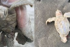 Langka, Tukik Berwarna Putih Ditemukan di Pantai Carolina Selatan
