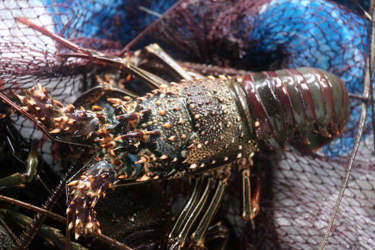 Lobter hasil budidaya di karamba milik Fajar yang berada di kawasan pantai  Ulele, Banda Aceh, Jumat (26/1/2018). Lobster jenis mutiara, batu, dan bambu ini dijual ke sejumlah rumah makan dan restoran, baik yang ada di Aceh maupun keluar daerah dengan harga sekitar Rp 400 ribu perkilogramnya.