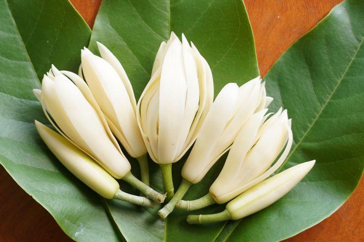 Ilustrasi bunga kantil atau cempaka putih