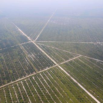 Suasana perkebunan kelapa sawit yang terdampak asap akibat kebakaran hutan di Palangka Raya, Kalimantan Tengah, Selasa (1/10/2019).