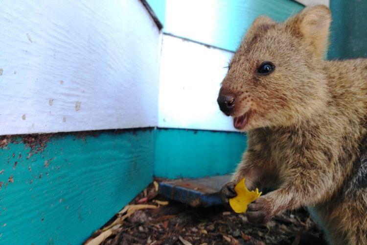 Quokka, hewan yang disebut paling bahagia di bumi ini hidup liar di Pulau Rottnest, Perth, Australia Barat.