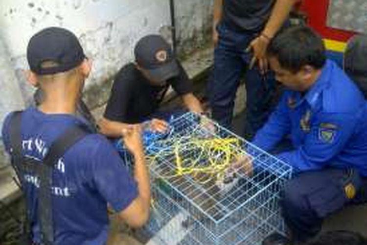 Para petugas Dinas Kebakaran Kota Bandung saat menangkap monyet liar yang meresahkan warga di Jalan Ahmad Dahlan, Kota Bandung, Kamis (28/4/2016)