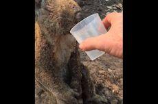 Momen Pilu Seorang Pria Beri Minum Koala yang Terkena Luka Bakar di Australia