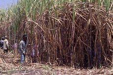 BUMN Pengelola Kebun Tebu Bergabung, Bentuk PT Sinergi Gula Nusantara