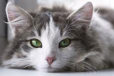 Mengapa Pupil Mata Kucing Berbentuk Vertikal? Ini Penjelasannya