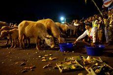 Mengenal Lebih Jauh Tradisi Khas Keraton Surakarta, Kirab Kebo Bule
