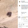 Video Viral Orangutan Kebingungan Melintas di Area Tambang, Begini Ceritanya