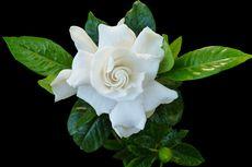 4 Penyakit Umum Tanaman Bunga Kacapiring dan Solusinya