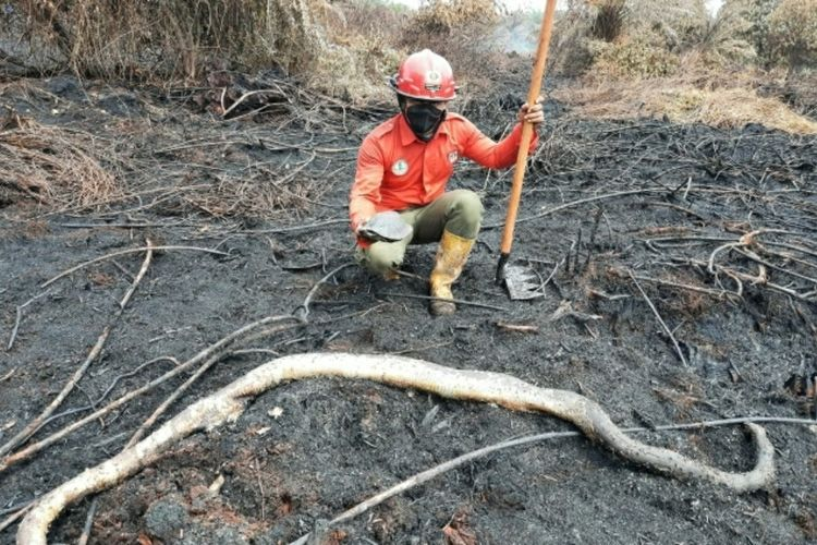 Petugas Manggala Agni Siak saat menemukan seekor ular sanca yang mati terbakar akibat karhutla, di Kampung Dayun, Kecamatan Dayun, Kabupaten Siak, Riau, Sabtu (31/7/2021).