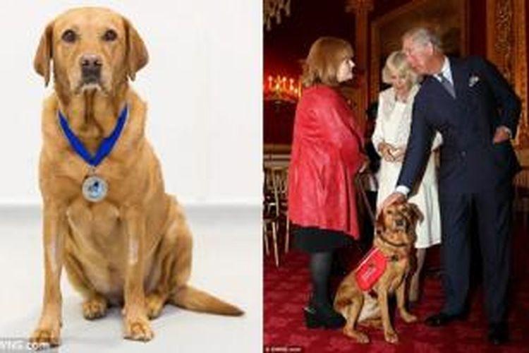 Daisy, anjing labrador yang pintar mendeteksi kanker.