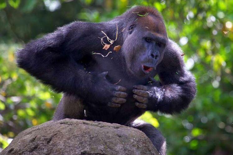 Ilustrasi gorila yang sedang memukul dadanya.