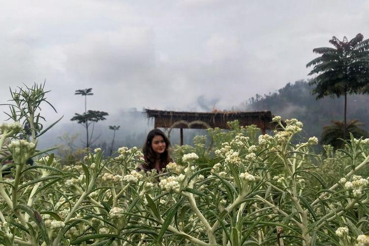 Pengunjung berfoto di hamparan bunga Edelweis, Taman Edelweis, Desa Wisata Edelweis.