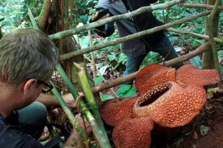 Bunga Rafflesia arnoldii mekar di hutan Cagar Alam Taba Penanjung, Kabupaten Bengkulu Tengah, Bengkulu, Rabu (15/5/2013). Setiap kali ada bunga raflesia mekar di hutan yang dibelah Jalan Raya Bengkulu-Kepahiang itu selalu menarik perhatian wisatawan dan warga.