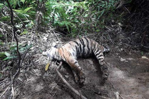 Soal Tiga Harimau Sumatera Ditemukan Mati Terjerat, BKSDA Aceh: Pelakunya Tetap Diusut