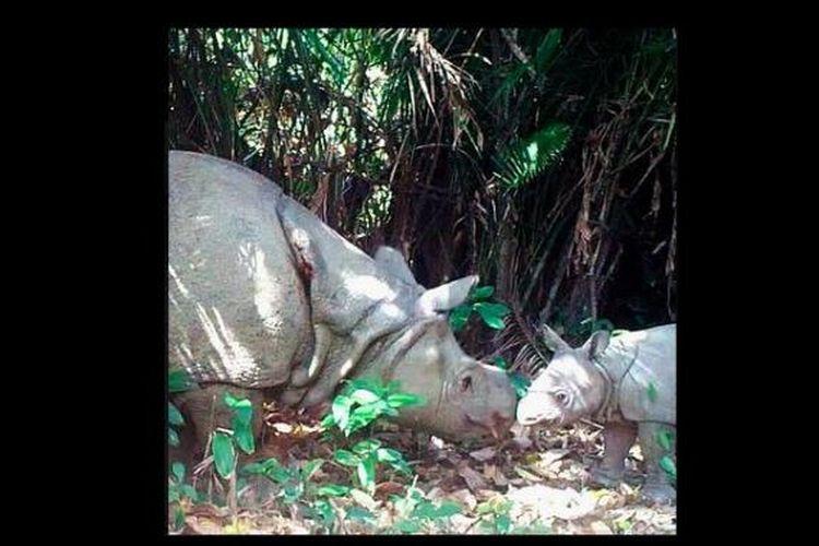 Tiga badak Jawa lahir di Taman nasional Ujung Kulon
