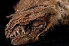 Mumi Anak Serigala Purba Berusia 56.000 Tahun Ditemukan 'Utuh' di Kanada