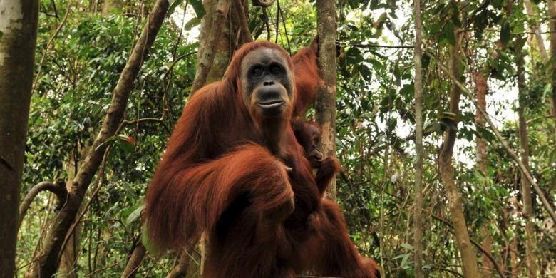 Seekor orangutan mengendong anaknya di hutan Taman Nasional Gunung Leuser, Desa Bukit Lawang, Kecamatan Bahorok, Kabupaten Langkat, Sumatera Utara, Kamis (17/5/2012).