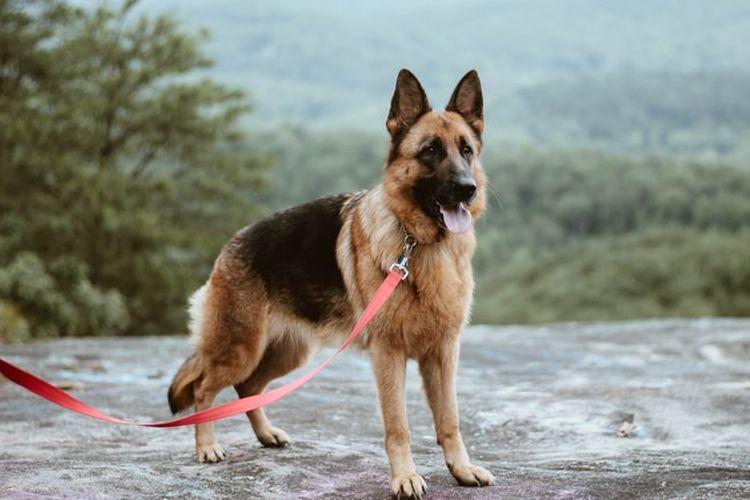 Ilustrasi ras anjing German Shepherd