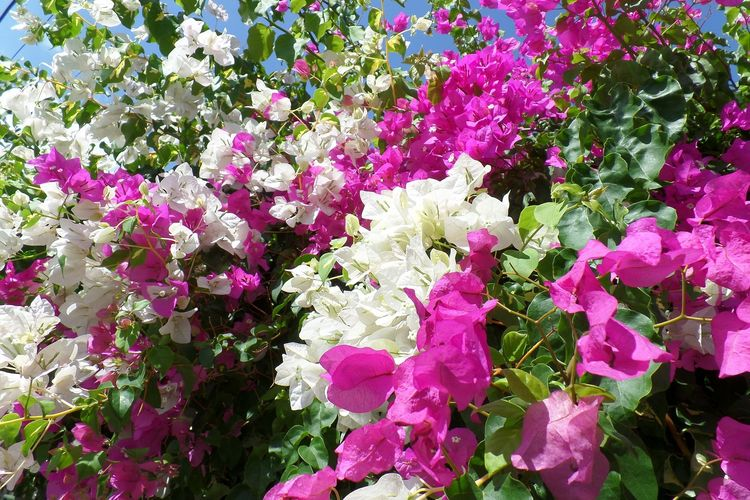Ilustrasi tanaman hias bunga bugenvil yang bisa merambat dan membentuk kanopi.