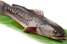 Dosen Unair: 2 Manfaat Makan Ikan Gabus