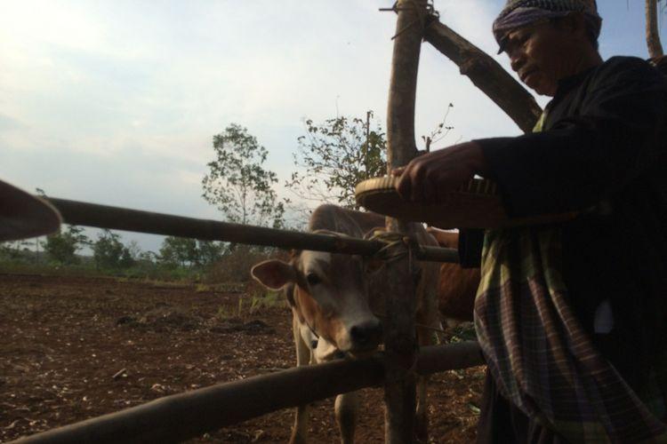 Sesepuh dusun Memberikan makan pada ternak saat tradisi gumbrekan.